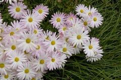 Blumen, die Fallhammergras ausstreuen Stockfoto