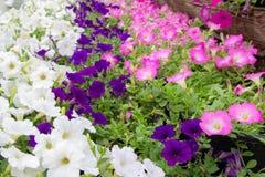 Blumen, die morgens mit vielen bunten grünen Blättern blühen lizenzfreie stockfotografie
