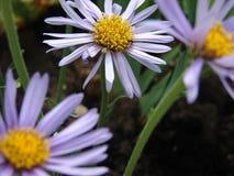 Blumen, drei Blumen, purpurrote Blume Stockbild