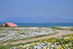 Blumen durch das Meer Kapwestküste, Südafrika stockfotos