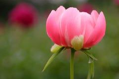 Blumen. Eine Pfingstrose. Stockfotografie