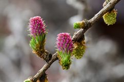 Blumen einer europäischen Lärche Stockbilder