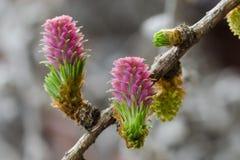 Blumen einer europäischen Lärche Stockfoto