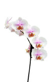 Blumen einer hybriden Vertikale der Phalaenopsisorchidee Stockbild