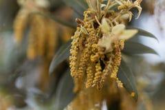 Blumen einer immergrünen Eiche Stockbild