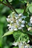 Blumen einer jungen Gartenbrombeere lizenzfreies stockfoto