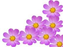 Blumen einer Kamille mit den dunkelblauen Blumenblättern stockbild
