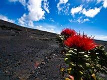 Blumen in einer Lava-Wüste Stockfotografie