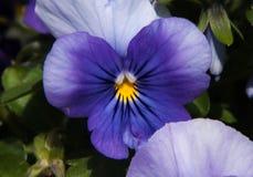 3 Blumen in einer Linie, 2 hellblaue abblätternde Blumen eine tiefere blaue Blume Lizenzfreies Stockbild