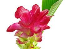 Blumen einer magentarote ?Gelbwurz? Stockbild