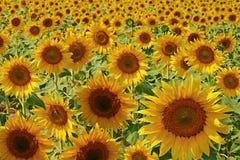 Blumen einer Sonnenblume auf einer Plantage. Lizenzfreie Stockfotografie