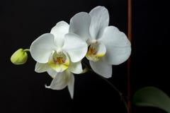 Blumen einer weißen Orchidee auf einem dunklen Hintergrund Lizenzfreies Stockfoto