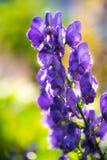 Blumen eines Akonite-Aconitum variegatum nach Regen Lizenzfreie Stockfotos