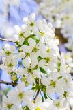 Blumen eines Apfelbaums auf einer Niederlassung mit Grün verlässt im Frühjahr stockbilder