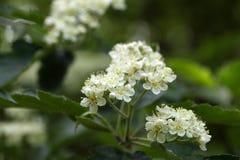 Blumen eines Baums des wilden Services Stockbild
