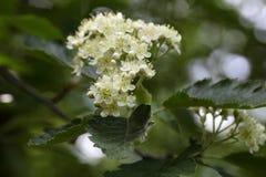 Blumen eines Baums des wilden Services Stockbilder