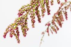 Blumen eines französischen Tamarisk, getrennt stockfoto