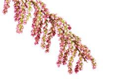 Blumen eines französischen Tamarisk, getrennt lizenzfreies stockbild
