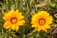 Blumen eines gelben Gerbera Stockfotografie