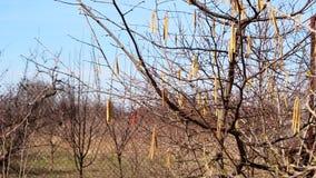 Blumen eines Haselnussbaums gegen den Himmel stock footage
