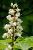 Blumen eines Kastanienbaums Stockbild