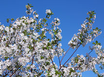 Blumen eines Kirschbaums Lizenzfreie Stockbilder