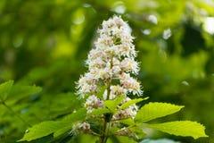 Blumen eines Pferdekastanienbaums Lizenzfreie Stockbilder