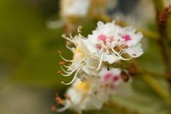 Blumen eines Pferdekastanienbaums Lizenzfreies Stockfoto