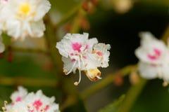 Blumen eines Pferdekastanienbaums Lizenzfreie Stockfotos