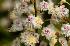Blumen eines Pferdekastanienbaums Lizenzfreies Stockbild