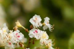 Blumen eines Pferdekastanienbaums Stockbild