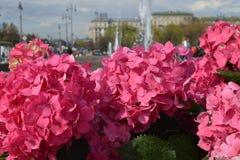 Blumen eines rosa Hydrangea Lizenzfreie Stockfotos
