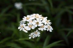 Blumen eines sneezewort Stockfotos