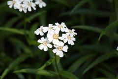 Blumen eines sneezewort Lizenzfreie Stockbilder
