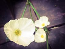 Blumen eines Texas-Schlammbabys Lizenzfreie Stockfotos