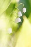 Blumen eines wild wachsenden Maiglöckchens Stockfotografie