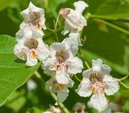 Blumen eines Zigarrebaums Lizenzfreies Stockfoto