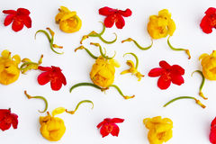 Blumen färben sich, das Rot gelb, lokalisiert auf weißem Hintergrund Stockfotografie