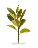 Blumen für Räume, rostiges Blatt des Ficus Lizenzfreie Stockfotografie
