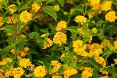 Blumen-Felder Karlsbads Kalifornien Lizenzfreie Stockfotos