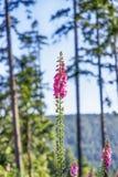 Blumen-Fingerhutpurpurea oder -fingerhut auf Naturhintergrund Stockfoto
