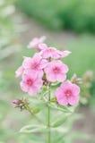 Blumen-Flammenblume gegen unscharfen grünen Hintergrund Stockbilder