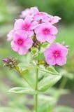 Blumen-Flammenblume gegen unscharfen grünen Hintergrund Lizenzfreies Stockfoto