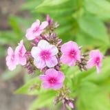 Blumen-Flammenblume gegen unscharfen grünen Hintergrund lizenzfreies stockbild