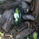 Blumen-Frühling snowbell Lizenzfreie Stockfotos