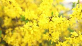 Blumen-gelber Rhododendron stock footage