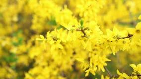 Blumen-gelber Rhododendron stock video