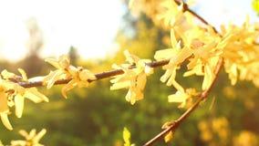Blumen-gelber Rhododendron stock video footage