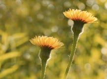 Blumen Gelbes Hintergrund mit Blumenboke Orange Blumen blühen in einer Reinigung im Sonnenschein an einem Sommertag Stockfotografie