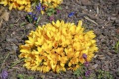 Blumen gelbes primerose im Frühjahr stockfoto